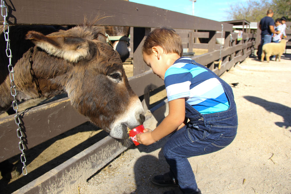 child feeds animal